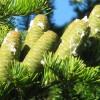 Abies sibirica - Siberi nulg