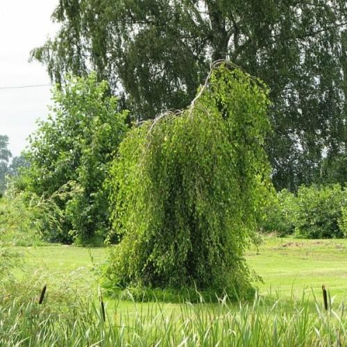 Betula pendula 'Youngii' - Arukask 'Youngii'