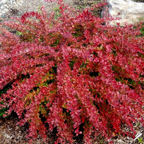 Berberis thunbergii 'Red Carpet' - Thunbergi kukerpuu 'Red Carpet'