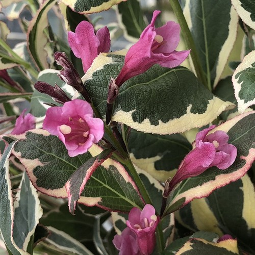 Weigela 'All Summer Monet' - Veigela 'All Summer Monet'