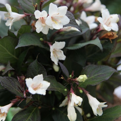 Weigela 'Ebony and Ivory' - Veigela 'Ebony and Ivory'