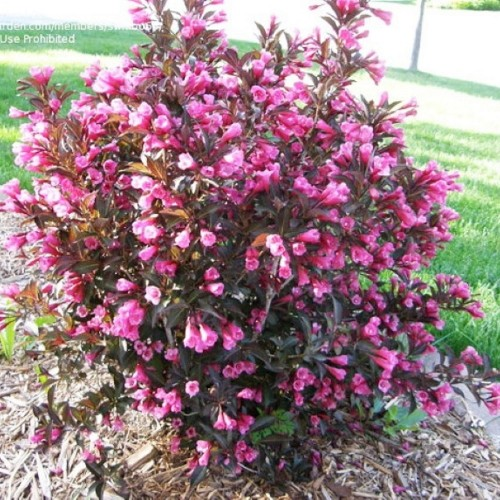 Weigela florida 'Minor Black' - Kaunis veigela 'Minor Black'