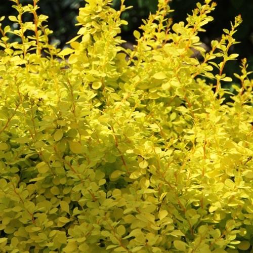 Berberis thunbergii 'Aurea' - Thunbergi kukerpuu 'Aurea'
