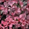 Berberis thunbergii 'Pink Queen' - Thunbergi kukerpuu 'Pink Queen'