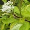 Cornus alba 'Aurea' - Siberi kontpuu 'Aurea'