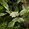 Cornus alba 'Elegantissima' - Siberi kontpuu 'Elegantissima'