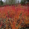 Cornus sanguinea 'Anny's Winter Orange' - Verev kontpuu 'Anny's Winter Orange'