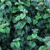 Cornus sanguinea 'Compressa' - Verev kontpuu 'Compressa'