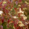 Cornus sanguinea 'Midwinter Fire' - Verev kontpuu 'Midwinter Fire'