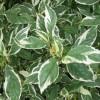 Cornus sericea 'White Gold' - Võsund-kontpuu 'White Gold'