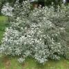 Elaeagnus commutata - Läikiv hõbepuu