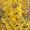 Forsythia x intermedia 'Goldrausch' - Värdforsüütia 'Goldrausch'