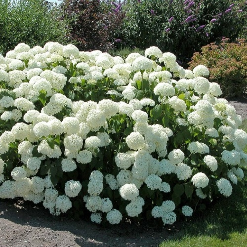 Hydrangea arborescens 'Annabelle' - Puishortensia 'Annabelle'