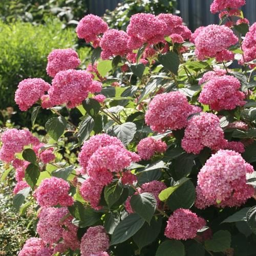 Hydrangea arborescens 'Pink Annabelle' - Puishortensia 'Pink Annabelle'