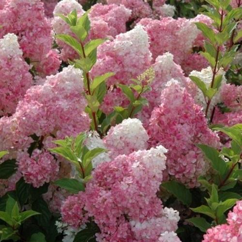 Hydrangea paniculata 'Sundae Fraise' - Aedhortensia 'Sundae Fraise'