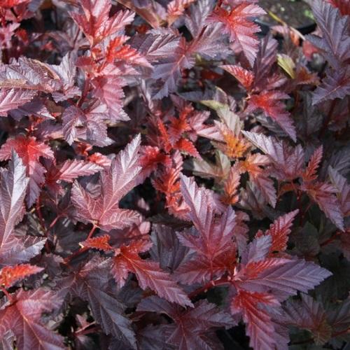 Physocarpus opulifolius 'Andre' - Lodjapuulehine põisenelas 'Andre'