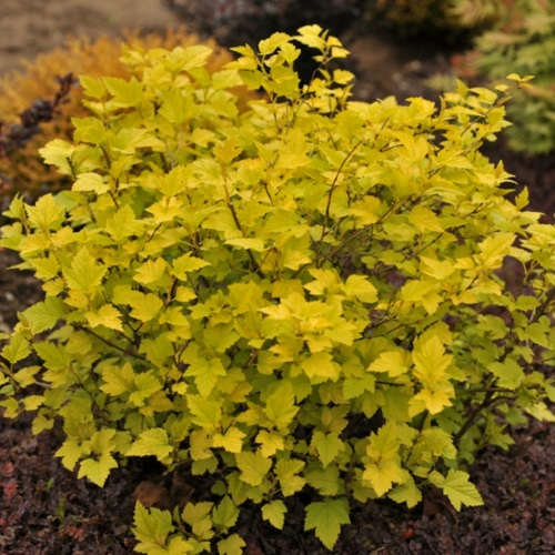 Physocarpus opulifolius 'Angel Gold' - Lodjapuulehine põisenelas 'Angel Gold'