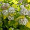 Physocarpus opulifolius 'Nugget' - Lodjapuulehine põisenelas 'Nugget'
