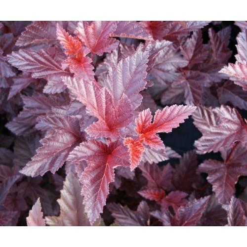 Physocarpus opulifolius 'Schuch' - Lodjapuulehine põisenelas 'Schuch'
