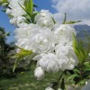 Prunus glandulosa 'Alba Plena' - Näärmeline kirsipuu 'Alba Plena'