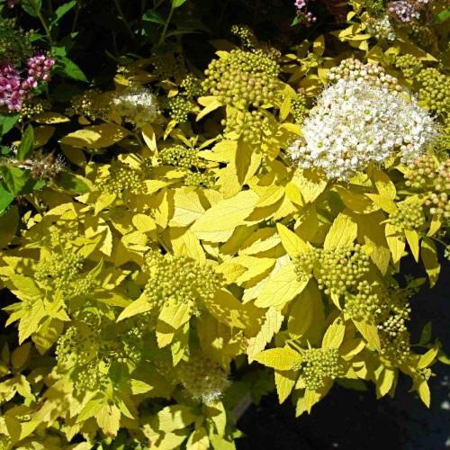 Spiraea japonica 'White Gold' - Jaapani enelas 'White Gold'