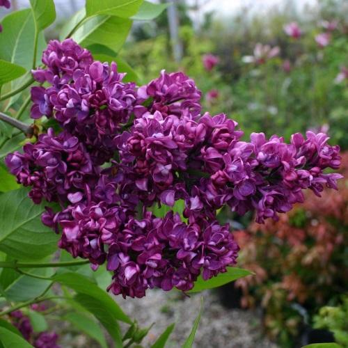Syringa vulgaris 'Charles Joly' - Harilik sirel 'Charles Joly'