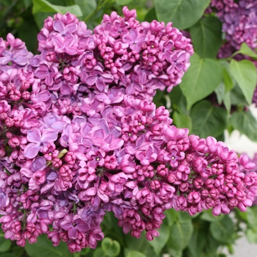 Syringa vulgaris 'Massena' - Harilik sirel 'Massena'