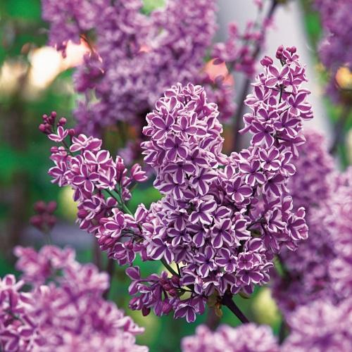 Syringa vulgaris 'Sensation' - Harilik sirel 'Sensation'