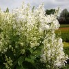 Syringa x prestoniae 'Agnes Smith' - Prestoni sirel 'Agnes Smith'