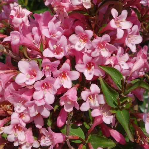 Weigela florida 'Pink Poppet' - Kaunis veigela 'Pink Poppet'
