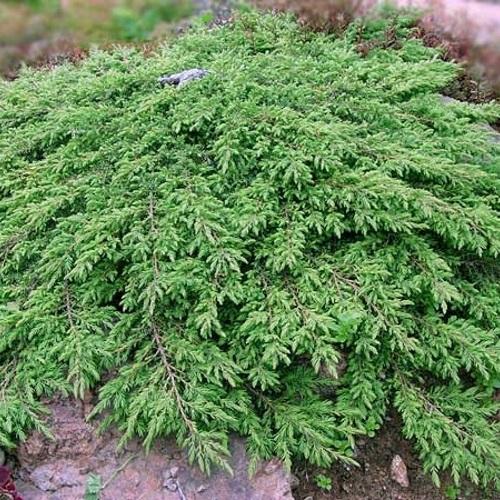 Juniperus communis 'Green Carpet' - Harilik kadakas 'Green Carpet'