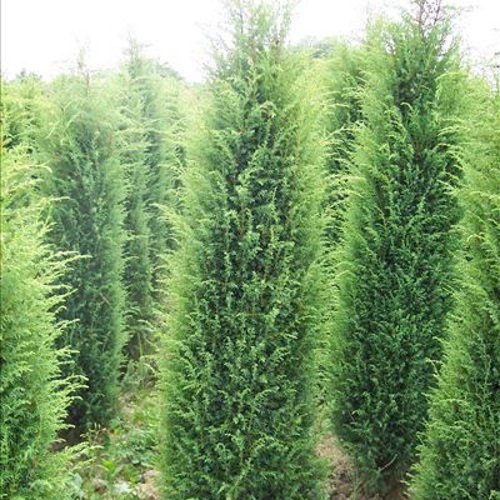 juniperus communis 39 hibernica 39 harilik kadakas 39 hibernica 39. Black Bedroom Furniture Sets. Home Design Ideas