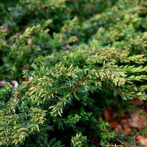 Juniperus communis 'Repanda' - Harilik kadakas 'Repanda'