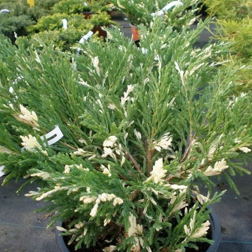 Juniperus horizontalis 'Andorra Compacta Variegata' - Roomav kadakas 'Andorra Compacta Variegata'