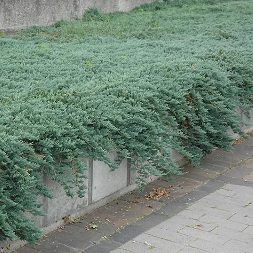 Juniperus horizontalis 'Ice Blue' - Roomav kadakas 'Ice Blue'