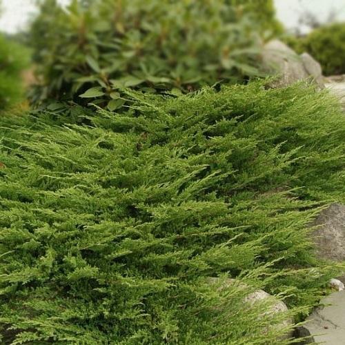 Juniperus horizontalis 'Prince of Wales' - Roomav kadakas 'Prince of Wales'