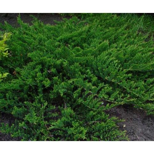 Juniperus horizontalis 'Prostrata' - Roomav kadakas 'Prostrata'