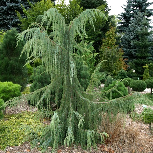 Juniperus communis 'Horstmann' - Harilik kadakas 'Horstmann'