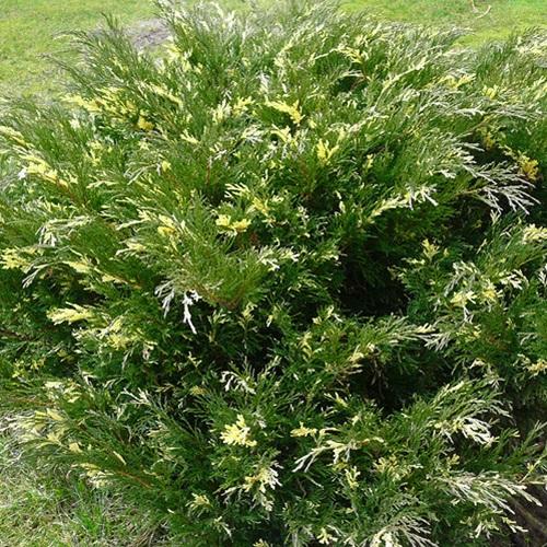 Juniperus sabina 'Variegata' - Sabiina kadakas 'Variegata'