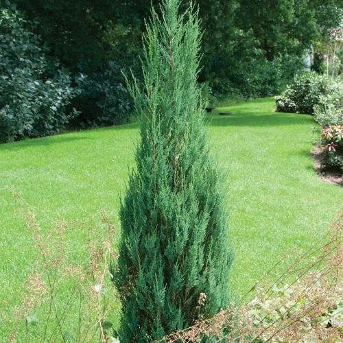 Juniperus scopulorum 'Skyrocket' - Kaljukadakas 'Skyrocket'