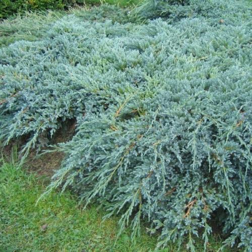 Juniperus squamata 'Blue Carpet' - Kirju kadakas 'Blue Carpet'