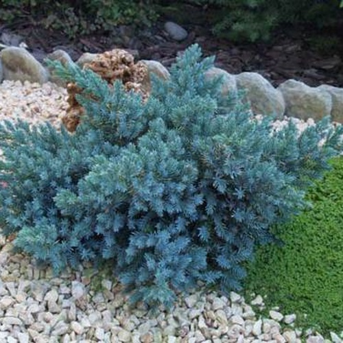 Juniperus squamata 'Blue Compact' - Kirju kadakas 'Blue Compact'