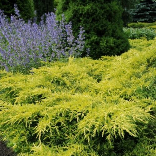 Juniperus x pfitzeriana 'Gold Star' - Pfitzeri kadakas 'Gold Star'