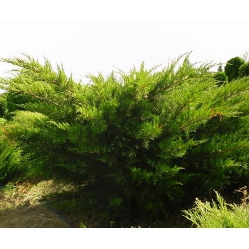 Juniperus x pfitzeriana 'Mint Julep' - Pfitzeri kadakas 'Mint Julep'