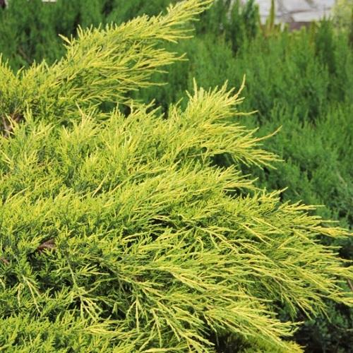 Juniperus x pfitzeriana 'Pfitzeriana Aurea' - Pfitzeri kadakas 'Pfitzeriana Aurea'