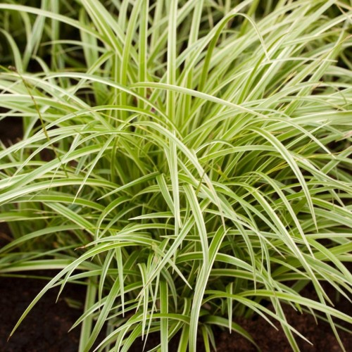 Carex morrowii 'Aureovariegata' - Jaapani tarn 'Aureovariegata'
