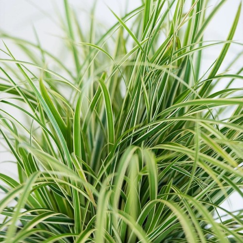 Carex morrowii 'Ice Dance' - Jaapani tarn 'Ice Dance'