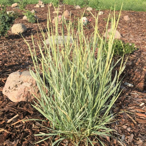 Arrhenatherum elatius subsp.bulbosum 'Variegatum' - Kõrge raikaerik 'Variegatum'