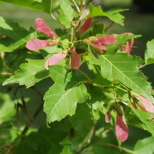 Acer ginnala - Ginnala vaher