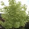 Acer platanoides 'Drummondii' - Harilik vaher 'Drummondii'